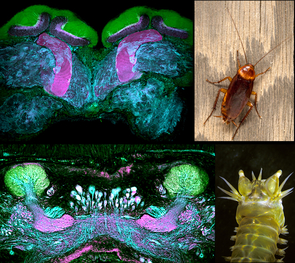 Despite the distant evolutionary relationship shared by an American cockroach and a marine ragworm, their memory centers have the same organization. (Photos: Gabriella Wolff, top and bottom left; Chip Hedgecock, top right; N. Strausfeld, bottom right.)
