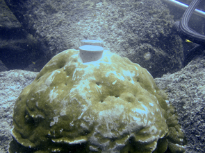 After removing two cores from this coral head near Wolf Island in the Galápagos, the UA-led team of researchers plugged the drill holes. The cement plugs help the coral grow over the holes and keep animals out of the holes. (Photo: Diane Thompson © 2010)