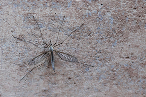 During their brief adult life, crane flies eat very little or nothing at all, which is why they spend much of their time motionless, in an attempt to conserve energy. (Photo: Arlene Islas/UANews)