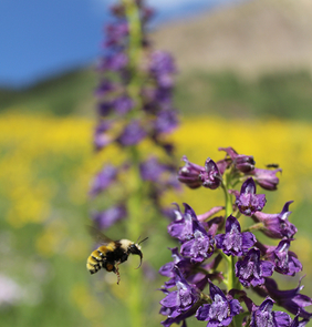Shifts in flowering schedule caused by a changing climate can affect the relationships between plants and their pollinators.  (Photo: Paul CaraDonna)