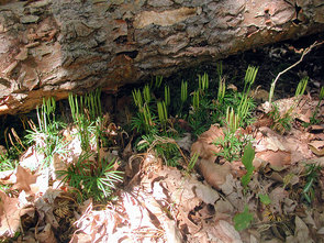 """Diphasiastrum digitatum belongs to the lycophytes, also called """"fern allies."""" They are one of the oldest lineages of extant vascular plants, This one was photographed in Blackhand Gorge State Nature Preserve in Ohio. (Photo: Mike Barker)"""
