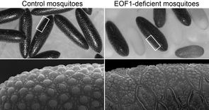 Eggs laid by mosquitoes treated with RNAi against the EOF-1 protein (right) and a control (left) display striking differences in their shells: Instead of a surface covered in regular bumps (each about 15 times smaller than the diameter of a human hair), EOF-1 deficient mosquitoes lay eggs in which this regular structure is disrupted. Lower images are magnifications of the egg shell structure. (Image: Jun Isoe)