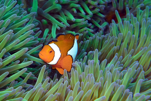 A clownfish seeks shelter in its sea anemone home in the Great Barrier Reef, which is part of this study. (Photo: Deborah Shelton)