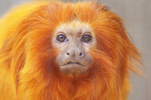 UA engineering seniors have designed a micro GPS location tracker and radio transmitter to be used among a population of golden lion tamarins, foot-tall endangered primates whose numbers in the wild have dwindled to about 1,500. The team will deliver a working system to the National Zoo in Washington, D.C., later this year.