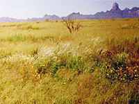 This view of the Buenos Aires National Wildlife Refuge shows a mix of native grasses and herbaceous dicots in the foreground, including Arizona cottontop and the golden-flowered Kallstroemia.  The uniform grassland cover in the distance is Lehmann lovegrass, and includes an encroaching mesquite tree.  Southern Arizona's Baboquivari peak rises in the background. (PHOTO: Erika Geiger)