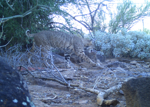 Automated monitoring cameras are more likely than human observers to capture elusive wildlife activity, such as this prowling bobcat. (Photo courtesy of the Desert Laboratory)