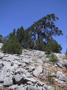 The annual rings of centuries-old black pines (Pinus nigra) such as this one in Anatolia, Turkey, provide natural archives of past climate. (Photo: Ünal Akkemik)