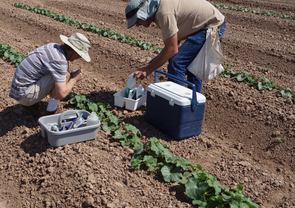 Entomology technicians collecting insecticide residue samples from cantaloupe leaves. (Photo by John Palumbo)