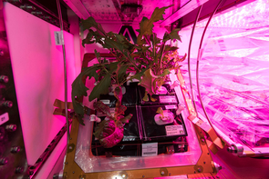 Mixed greens, including mizuna, red romaine lettuce and Tokyo bekana cabbage, have been grown in the International Space Station with the Vegetable Production System, or VEGGIE. (Photo courtesy of NASA)