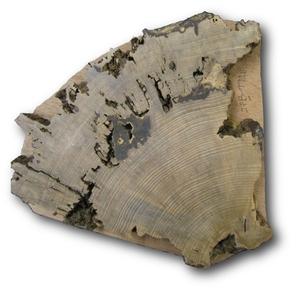 Cross-section of a sample taken from the Pueblo Bonito plaza tree. (Photo: Christopher Guiterman)