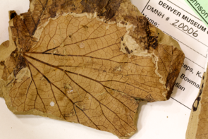 "A fossilized leaf of 'Vitis' stantonii, a grapelike plant from the Hell Creek Formation in North Dakota. Blonder is especially interested in the venation network of each leaf, because veins may be a very good proxy for temperature via their role in constraining leaf water usage. ""Fortunately many fossils have exquisite preservation of veins,"" he said. (Photo: Benjamin Blonder)"