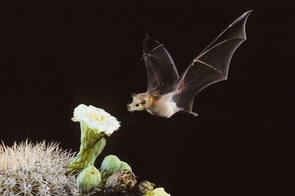 The lesser long-nosed bat, an important pollinator, feeds on nectar from a saguaro cactus flower. (Courtesy of Bat Conservation International)