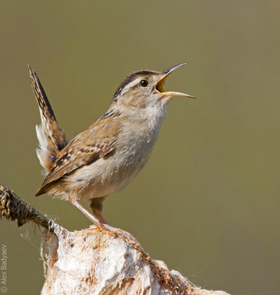 Birds, like this marsh wren, rely heavily on acoustic communication to stake out territories and attract mates. (Photo: Alex Badyaev/University of Arizona)