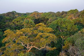 Contrary to what was previously thought, the tallest trees in the Amazon put on more leaves during the dry season than during the rainy season. (Photo: Marielle Smith)