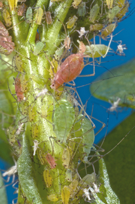 Red and green aphids are grouped together. The large red aphid toward the top of the photo is giving birth. (Copyright 2010, Charles Hedgcock R.B.P.)