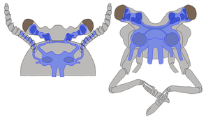A modern brain in an ancient body: A reconstruction of the brain of the 520 million year-old fossil Fuxianhuia protensa (left), which has a very simple body shape, yet shows unexpected similarity to the complex brain of a modern crustacean, such as the land hermit crab (Coenobita clypeatus) pictured on the right. (Illustration: Nicholas Strausfeld)