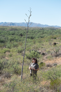 An observer monitors flowering on a Palmer's agave at Cienega Creek Natural Preserve in Pima County, Arizona.
