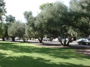 The UA's olive trees are believed to be some of the oldest trees on campus, planted in 1895.
