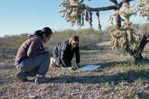 """From left: Ge and Basinger examined wild winter annual plants on one of dozens of plots that have been continuously monitored for 37 years. """"This is one of our more dangerous plots, because of the cholla,"""" Basinger said."""