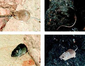 Light and dark rock pocket mice on light granite and dark basalt rocks(Photo:  Hopi E. Hoekstra)