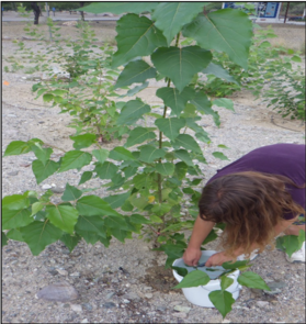 Amberly Neice was a student in the National Science Foundation-funded Research Experiences for Undergraduates program when she assisted with the poplar tree study in 2014. (Photo: David J.P. Moore)