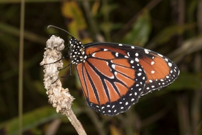 The unpalatable queen butterfly, Danaus glippus. (Photo: Katy Prudic)
