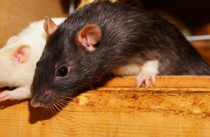 Four pairs of breeding rats and their progeny can give rise to 15 million offspring over the course of one year, adjusting for litter size, the offspring's sexual maturity and how often females can reproduce.