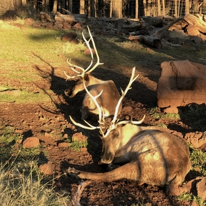 Adult female reindeer relax at the Grand Canyon Deer Farm. Male reindeer typically shed their antlers after the rutting season, while females keep theirs. (Photo courtesy of Dieter and Netzin Steklis)