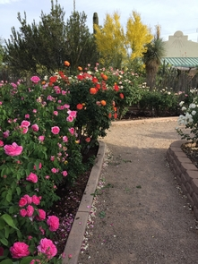 The rose garden on North Campbell Avenue in Tucson includes 85 plants.