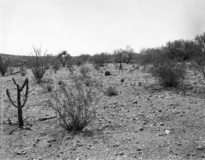 1958: This photograph was taken in 1958 by stake 912 in a flat area in the western part of the Desert Laboratory grounds. The plot's dominant shrubs are creosote bush (Larrea tridentate) and white ratany (Krameria grayi) plus some triangle-leaf bursage (Ambrosia deltoidea) and species of cholla cactus. (Photo credit: Raymond M. Turner/U.S. Geological Survey)