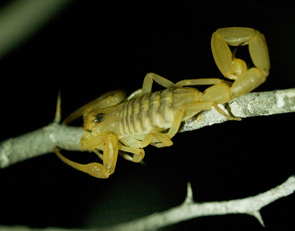 Arizona is home to more than 30 species of scorpions, but only the bark scorpion is considered potentially life-threatening. Of the commonly seen species, it is also the only one to climb onto shrubs and trees. Pictured here is the Baja Bark Scorpion, Centruroides exilicauda (Photo by D. Stolte/UANews)