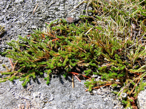 Another lycophyte, Selaginella wallacei, from the Pender Harbour area of British Columbia. (Photo: Mike Barker)