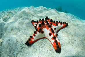 This colorful chocolate chip sea star, along with sea cucumbers and sea urchins, belongs to the Echinoderms, the only phylum with a five-symmetrical body plan. (Photo: Ethan Daniels/Shutterstock)