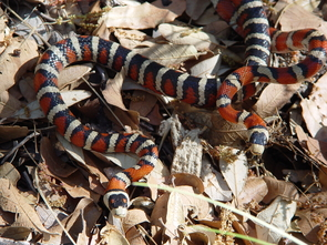 A mating pair of Sonoran mountain kingsnakes, one of the species studied in the paper, photographed in the Santa Rita Mountains. (Photo: John J. Wiens)