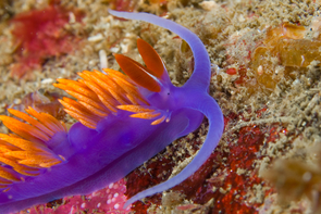 Unlike many of their land-dwelling kin, many so-called sea slugs such as this Spanish Shawl are carnivorous snails that prey on polyps, sponges or even each other. (Photo: Daniel Stolte/UANews)