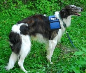 Stryder, a Borzoi, is one of the psychiatric service dogs the Millers trained. (Photo credit: Laura Killian)