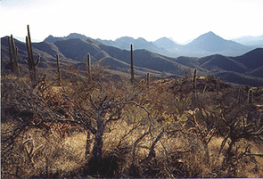 Cactus thrive on Tucson Mountain slopes, looking east from the Hugh Norris Trail. (Photo: Lori Stiles)