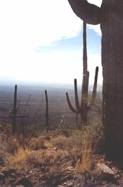 Giant saguaro stand silent watch in the Tucson Mountains in this view to the southwest, toward the Tohono O'odam reservation. (Photo: Lori Stiles)