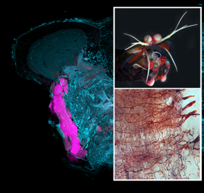 Part of the lateral forebrain of a mantis shrimp (upper right), a top predator of the coral reef. The lower right panel shows parallel nerve fibers of the lobe intersected by input and output neurons. (Image credits: Mantis shrimp by Roy L. Caldwell/University of California, Berkeley. Brain images by Nicholas Strausfeld, Gabriella Wolff and Marcel Sayre)