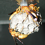 If paper wasps actually sleep, do they post extra sentries to guard the nest through the night?  (Photo: Barrett Klein)