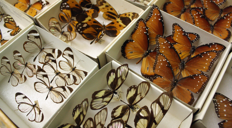 The UA Insect Collection is akin to a library. The 2 million specimens in the collection are irreplaceable, and the collection serves as a chronicle of biodiversity in the region over time. (Photo credit: Beatriz Verdugo/UANews)