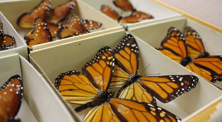 Butterfly specimens in boxes