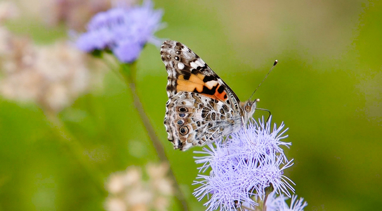 The Painted Lady butterfly spends only the winter in Arizona. (Photo: Bob Demers/UANews)