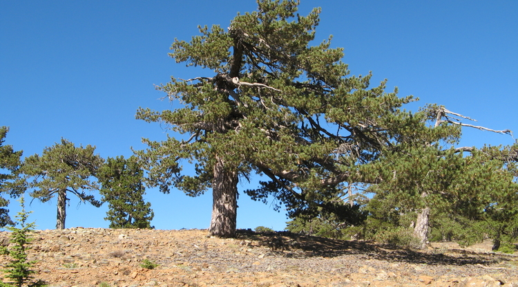 Ancient conifer trees in Cyprus (Photo: Ramzi Touchan/UA Laboratory of Tree-Ring Research)