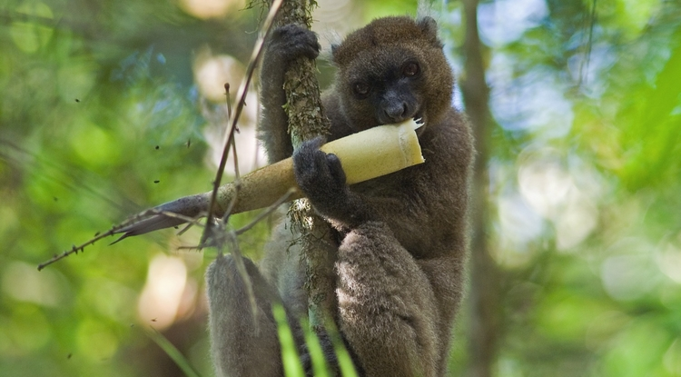 Only an estimated 600 greater bamboo lemurs are left in the wild. (Photo: Jukka Jernvall/University of Helsinki)