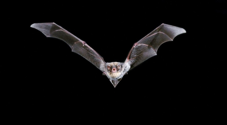When it comes to rabies in this region, bats get all the attention. But Robert Clarks' research indicates that people should also learn more about the risks associated with rabies-infected skunks and foxes. (Photo credit: Ivan Kuzmin via the National Science Foundation)