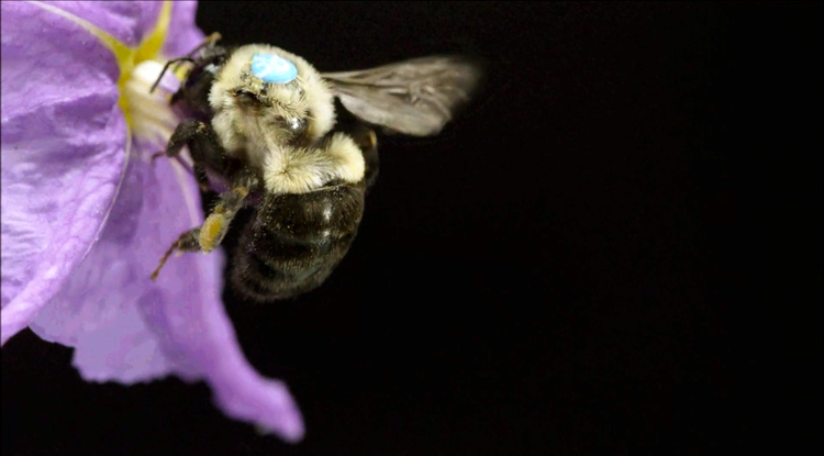 Bees are concerned with two types of food: pollen and nectar. Pollen is a protein source for them. (Photo: Keith Brust)