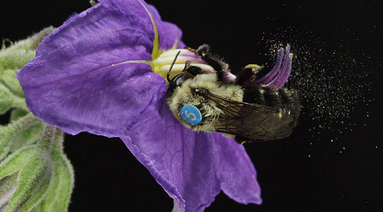 A female Bombus impatiens (bumblebee) sonicating a deadly nightshade blossom in the UA EEB greenhouse (Photo: Keith Brust/Wildtime Media)