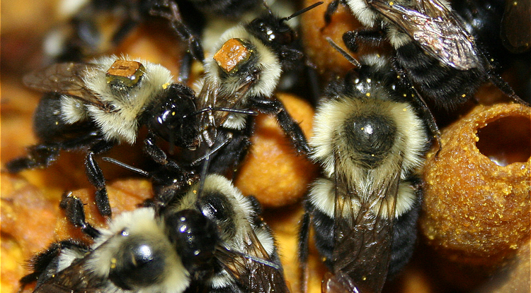 worker bumble bees