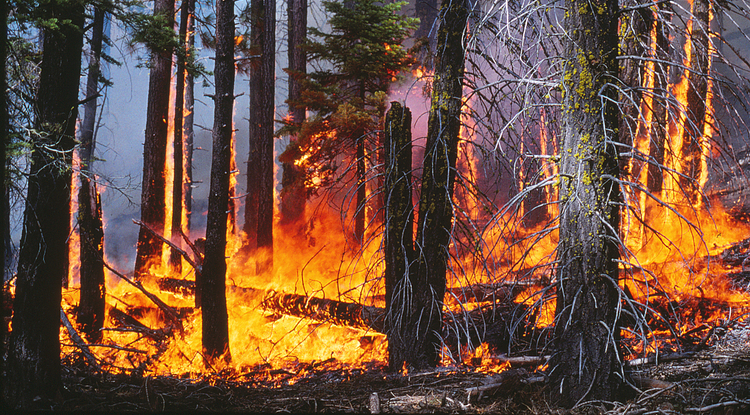 The low-to-moderate intensity surface fire in this prescribed burn will lower the fuel load in this forest in the Lake Tahoe Basin. (Photo: Alan H. Taylor)